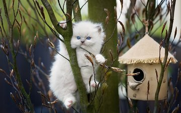 nature, cat, muzzle, mustache, branches, look, kitty, spring, animal, birdhouse, kidney, ragdoll, monika koc