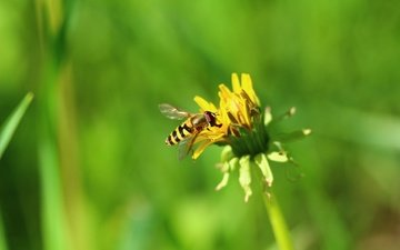 nature, greens, insect, flower, dandelion, fly, pchelovodny fly