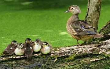 природа, лето, птицы, клюв, мох, перья, утята, бревно, утка