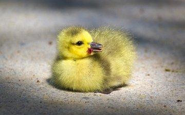 птенец, маленький, птица, клюв, малыш, гусь, глазки, гусенок