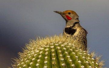 bird, beak, cactus, woodpecker, silkly woodpecker