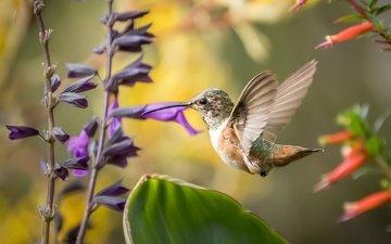 цветы, птица, клюв, перья, окрас, колибри, перышки