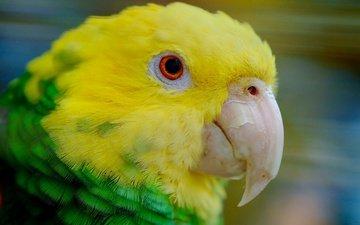 птица, клюв, перья, попугай, желтоголовый амазон