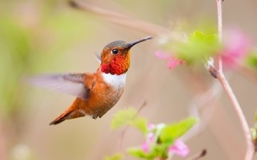 flowers, bird, beak, feathers, hummingbird, blur