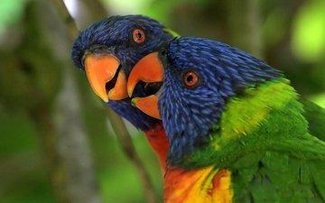 птица, клюв, перья, попугай, радужный лорикет, многоцветный лорикет