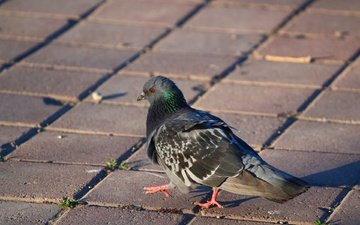 bird, beak, feathers, animal, dove