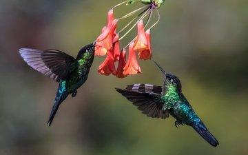 цветы, птицы, клюв, пара, перья, в полёте, колибри