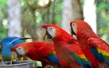 птицы, клюв, отдых, перья, ара, попугаи