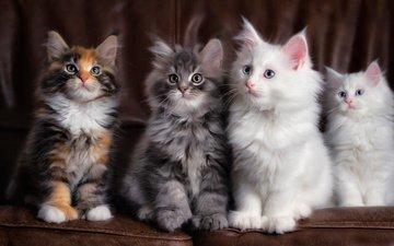 усы, взгляд, пушистые, кошки, котята, мордочки