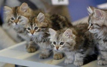 размытость, кошки, малыши, котята, квартет