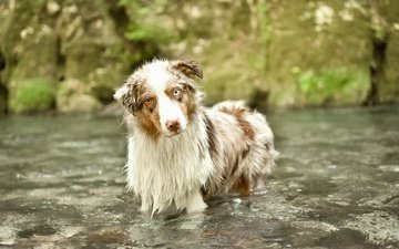 river, look, dog, each, australian shepherd, aussie