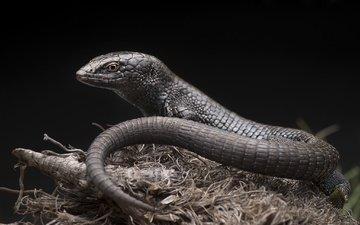ящерица, рептилия, анадия