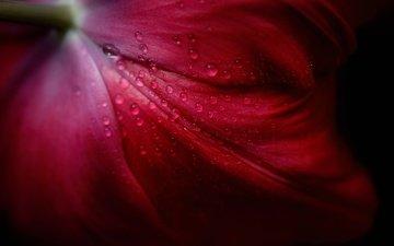 цветок, роса, капли, лепестки, тюльпан