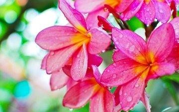 цветы, роса, капли, плюмерия