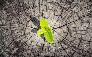 листья, росток, древесина, пенек