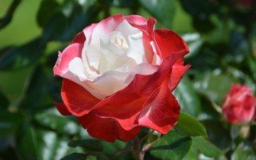 листья, цветок, роза, лепестки, боке