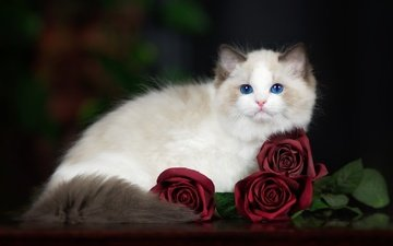 cat, muzzle, mustache, roses, look, blue eyes, ragdoll