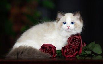 кот, мордочка, усы, розы, кошка, взгляд, голубые глаза, рэгдолл