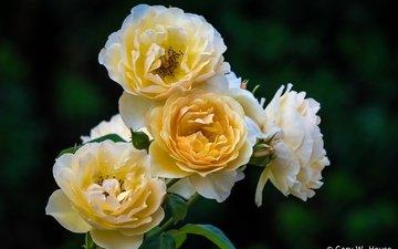 цветы, бутоны, розы, лепестки, куст, желтые
