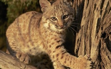 lynx, muzzle, look, kitty, wild cat, cub
