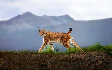 трава, горы, рысь, взгляд, хищник, дикая кошка