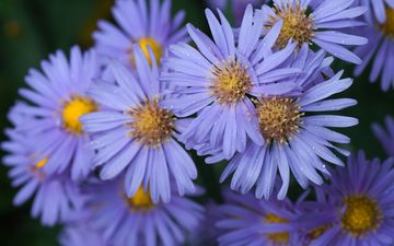 flowers, petals, bokeh, astra, asters, astra tatar