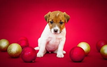 balls, background, wool, dog, holiday, red background, jack russell terrier