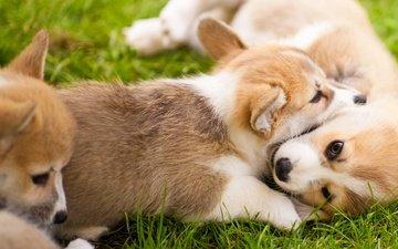 трава, щенок, игра, щенки, собаки, вельш-корги, корги, пемброк