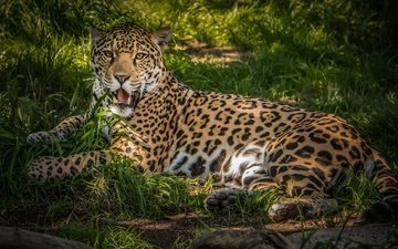 wool, predator, jaguar, animal, color