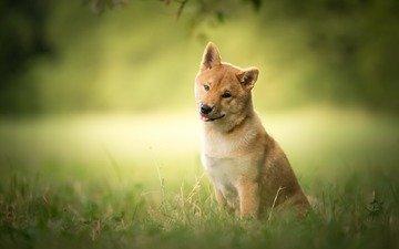 трава, природа, мордочка, взгляд, собака, друг, сиба-ину