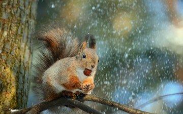 снег, дерево, ветки, животное, белка, орех