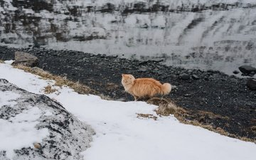 снег, кот, мордочка, усы, кошка, взгляд, рыжий