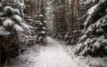 деревья, снег, лес, зима, дорожка, ель, следы, хвойные