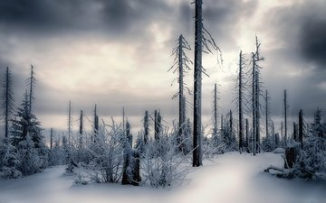 the sky, trees, snow, forest, winter, trunks