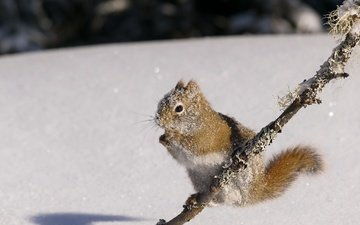 snow, nature, winter, protein, squirrel, rodent