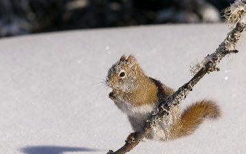 снег, природа, зима, белка, белочка, грызун