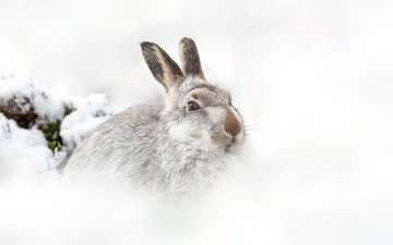 snow, nature, winter, background, hare
