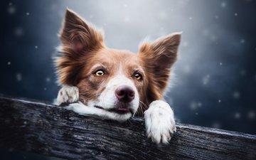 глаза, снег, взгляд, собака, пес, бревно, бордер-колли, cecilia zuccherato