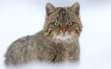 snow, cat, muzzle, mustache, look, wild cat