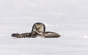 owl, snow, winter, wings, bird, hawk owl