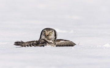 сова, снег, зима, крылья, птица, ястребиная сова