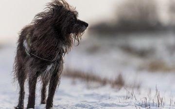 snow, winter, dog, lucy, the irish wolfhound, juergen libertus