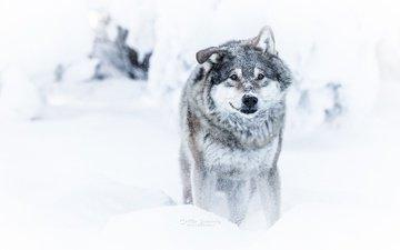 морда, снег, зима, взгляд, хищник, волк