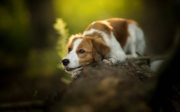 muzzle, look, dog, log, bokeh, kooikerhondje