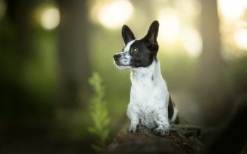 muzzle, look, dog, puppy, log, bokeh, basenji