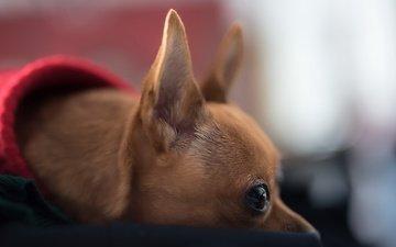 мордочка, взгляд, собака, дом, щенок, профиль, уют, чихуахуа