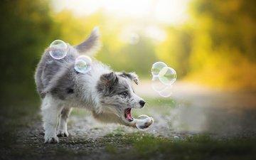 собака, игра, алиса, мыльные пузыри, бордер-колли, dackelpup