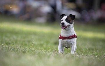 собака, песик, боке, джек-рассел-терьер