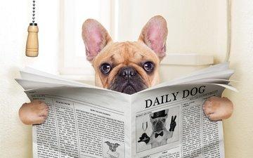 dog, humor, newspaper, pug