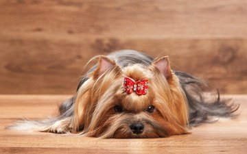 dog, animal, bow, york, yorkshire terrier